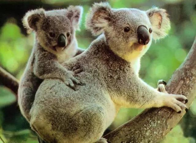 澳洲旅游树懒