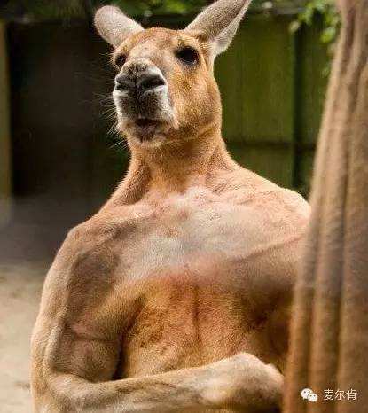 袋鼠是大型动物中唯一一个把弹跳当作主要移动方式