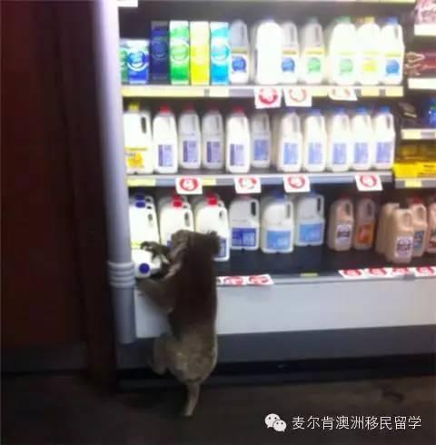 考拉偷牛奶